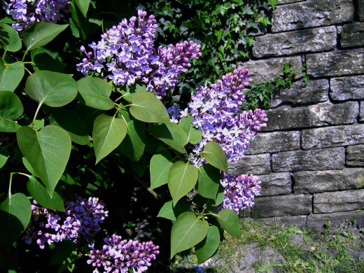 The blooms of lilac convey the message that summer is oh so near. Photograph by D.A.L.