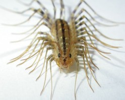 How To Kill House Centipedes!