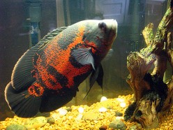 How to care for South American Cichlids like the Tiger Oscar