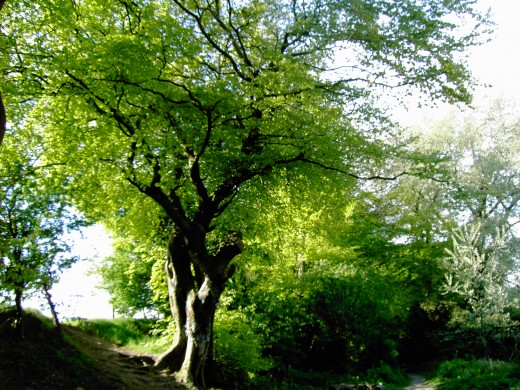 This old beech tree is utilised by animals that take advantage of the many nooks and crannies. Photograph by D.A.L.