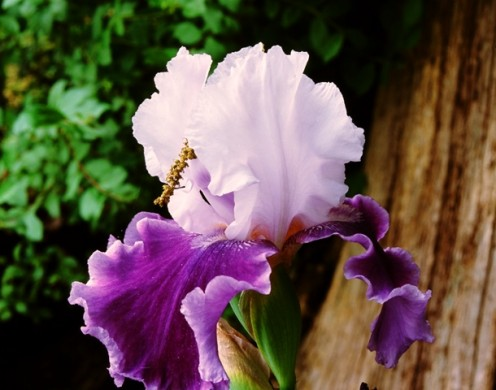 Purple/White Iris - PHOTO by R.K.