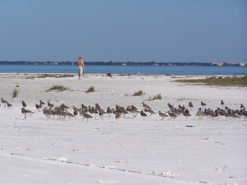 Shore birds on Honeymoon Island in Dunedin, FL.  Adjacent Caladesi Island was voted America's Best Beach in 2008.