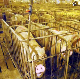 Factory farms like this are becoming the norm in all developed countries. They have a huge impact on the environment. Meat from these farms is what most of us are eating.