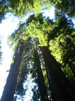 Coastal Redwoods, Muir Woods National Monument.