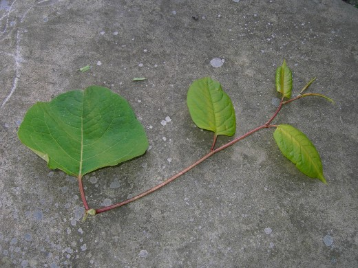 leaves are arranged alternately along zig zag stems. Photograph by D.A.L.