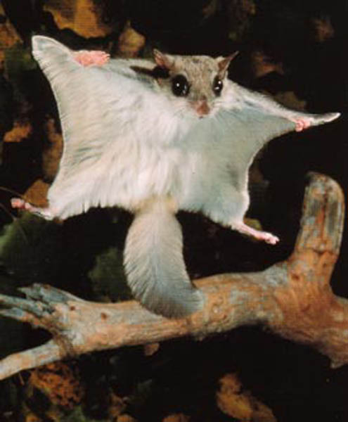 Flying squirrels glide on the same principle as the sugar glider, or in ancient times, the pterodactyl.