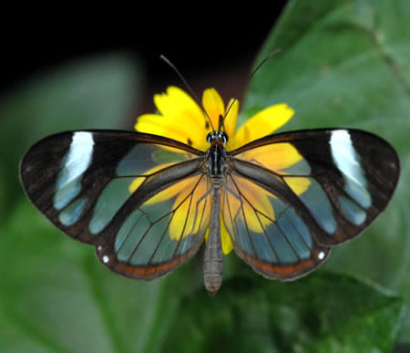 3. Transparent Butterfly Found in Central America, from Mexico to Panama, the Glasswing Butterfly (Greta Oto) is a brush-footed butterfly where its wings are transparent. The tissue between the veins of its wings looks like glass. (Photo by Hemmy)