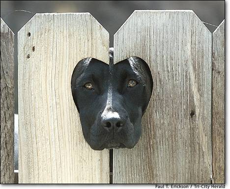 10.Puppy love  Crystal, a year-old black Labrador-Dalmatian mix, peers through a heart-shaped hole in a fence