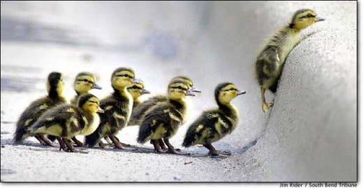 12. The little duckling who could Mallard ducklings wait their turn May 14 as a sibling struggles to make it up a curb in South Bend, Ind. The mother, who had already cleared the obstacle, flirted with traffic for 20 minutes before leading her offspr