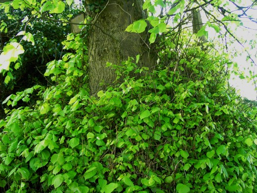 lime trees often have shoot growth near the base of the trunk. Photograph by D.A.L.