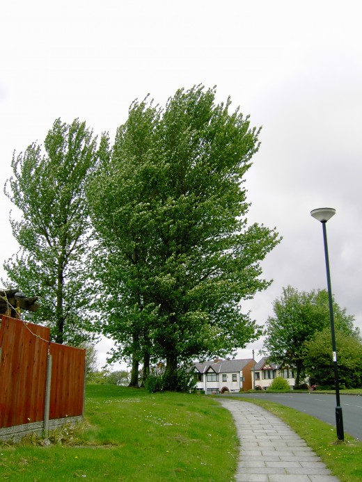 Lime trees are widely planted along road sides, like this fine specimen here. Photograph by D.A.L.