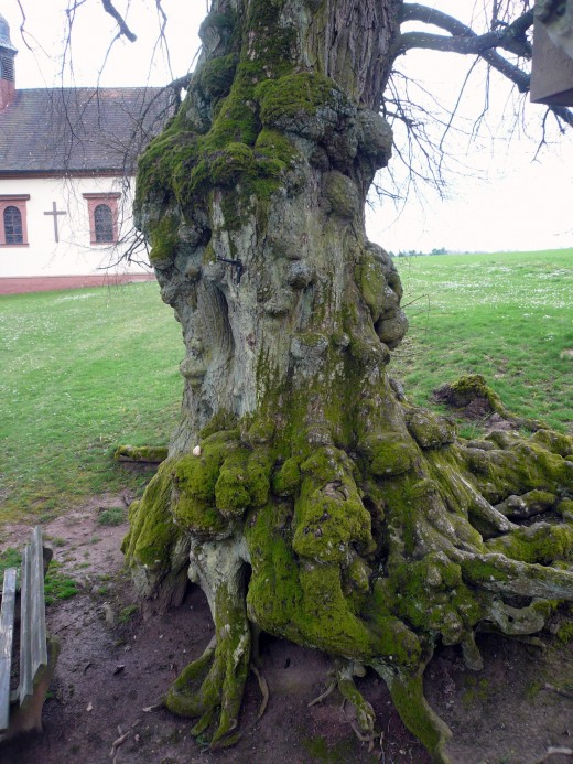 an ancient trunk or bole of a lime tree.