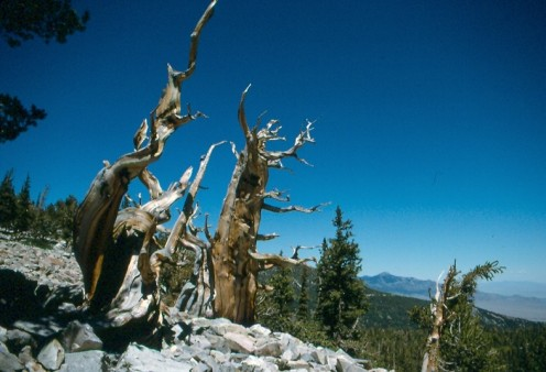 The Bristlecone Pine forest, Great Basin National Park.