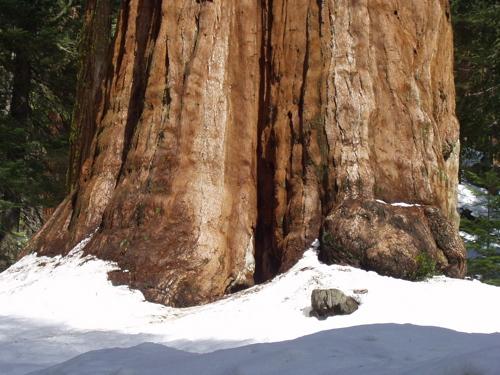 Giant sequoia / Photo by E. A. Wright