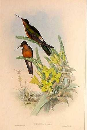 The Giant Hummingbird