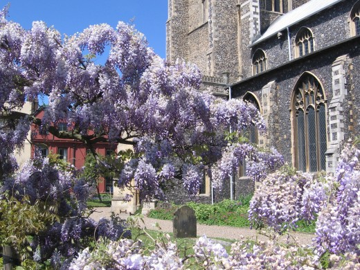 The beautiful wistera outside the Church of St. Giles on the Hill, present in early summer.