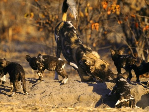 Republican wild dogs eating their young