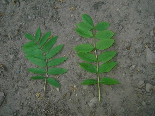 the rowan leaf on the left and the leaf of the common ash on the right,photograph by D.A.L.