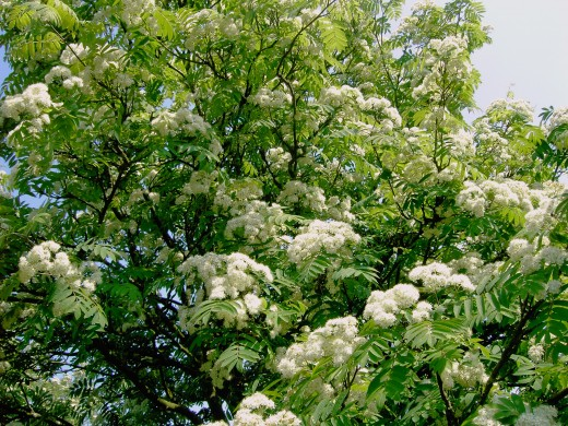 The rowan tree in bloom is an impressive tree. Photograph by D.A.L.