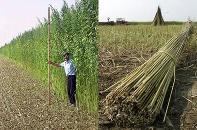 Hemp is tall, narrow and fibrous which makes it idea for natural tough fiber, weed control and wind breaking. The seeds are a good source of protein and oil. Hemp often grows to three to four meters in height.
