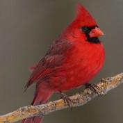 RedCardinal profile image