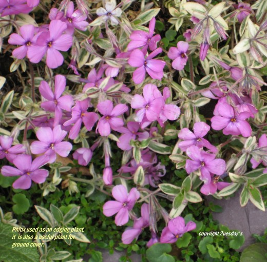 Photo: pink phlox flowers