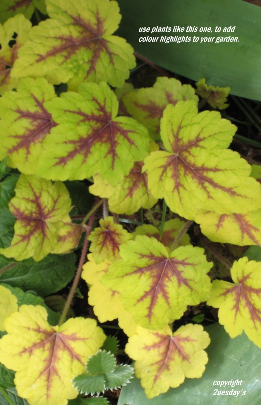 Photo: 'stoplight' a bright colourful variety of Heuchera.