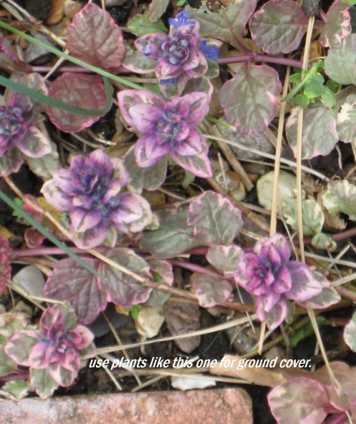 Photo: a ground cover plant with variegated foliage.