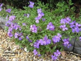 photo: aubretia flowers used as an edging plant with rope edging and gravel.