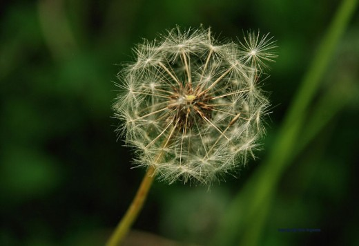 One seed of this dandelion head rests on top of the head awaiting a breeze to carry it away.