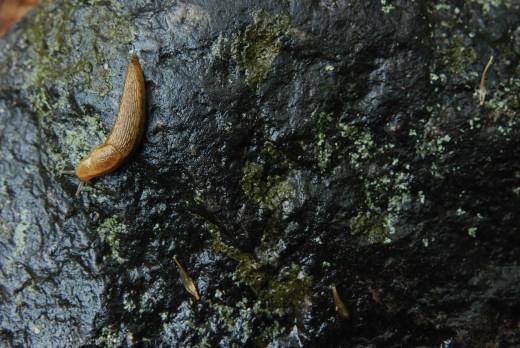 A slug works its way across a landscaping boulder.