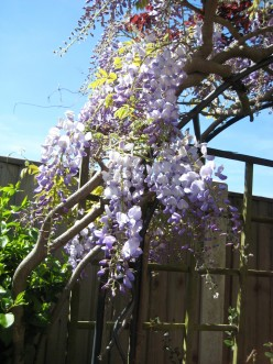 Wisteria can be trained over an archway to form an interesting feature in the garden.