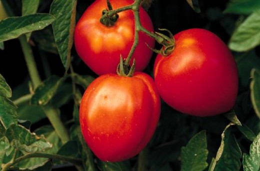 Tomatoes are heavy feeders and need supplemental nutrients.