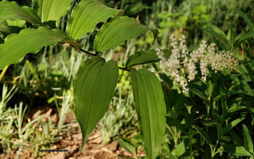 A false Solomon's seal blooms at the edge of one garden. The wild member of the lily family will in autumn bear red berries.