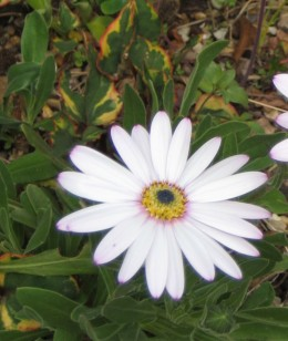 Photo: osteospermum flower. This daisy like flower comes in a range of attractive colors and some interesting shapes such as the whirly-gig one.
