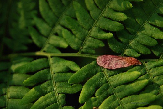 A maple leaf seed pod, aka whirlybird, rests on the leaves of a fern.