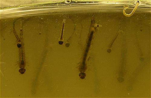 Mosquito larva thrive in standing water.