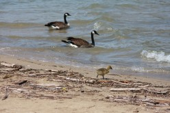 Canada Geese and Goslings on Lake St. Clair May 10, 2008    deedsphotos