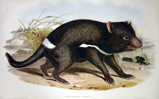 Tasmanian Devils are not Devils at all. They are kinda cute little mammals of Tasmania! Photo - Wikimedia Commons, Public Domain