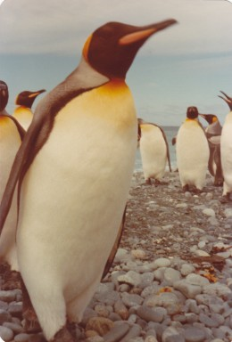 King Penguins on a MacQuarie Island beach during my year-long sojourn there in 1977