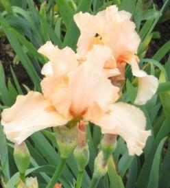 Photo: a pretty peach coloured iris with ruffled petal edges.