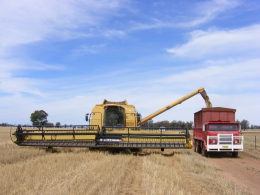 "Harold the harvesting contractor unloading wheat into ""Betsy Butterbox"""