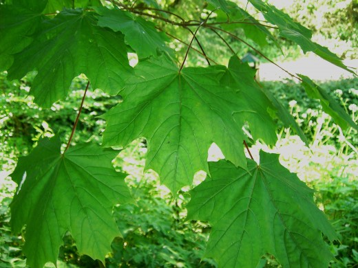 Fresh young sycamore foliage. Photograph by D.A.L.