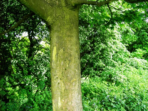 The trunk of sycamore is quite smooth at first but as the tree matures large plate-like scales are formed on the trunk. Photograph by D.A.L.