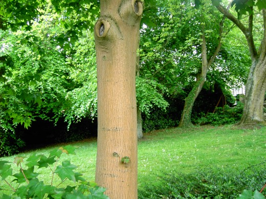 The young trunk of an ornamental maple. Photograph by D.A.L.