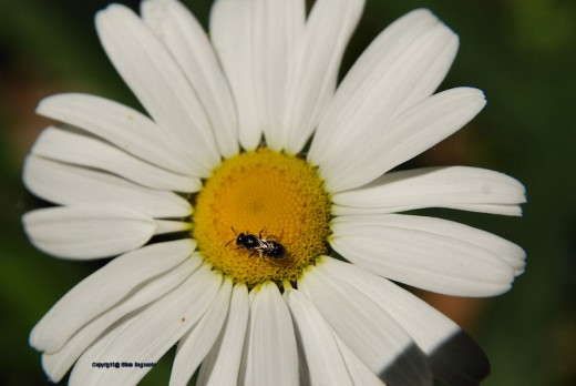 The same bee worked over a nearby daisy.