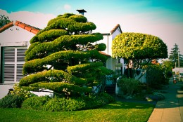 """Natural topiary, highlights the natural shapes of the tree while giving it a """"design"""" look."""