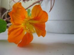 Orange nasturtium flower / Photo by E. A. Wright