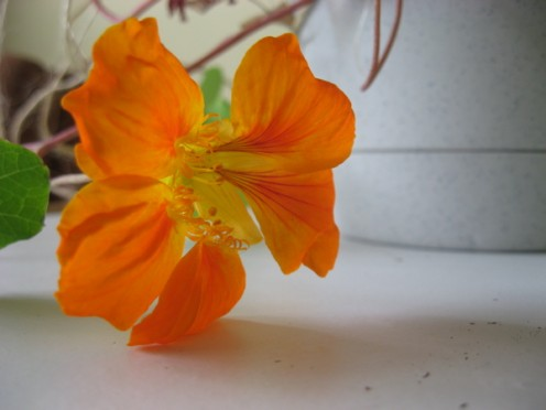 Orange nasturtium flower / Photo by E. A. Wright