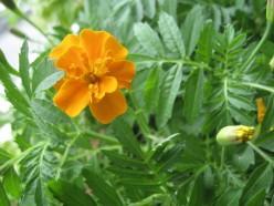 Marigolds / Photo by E. A. Wright